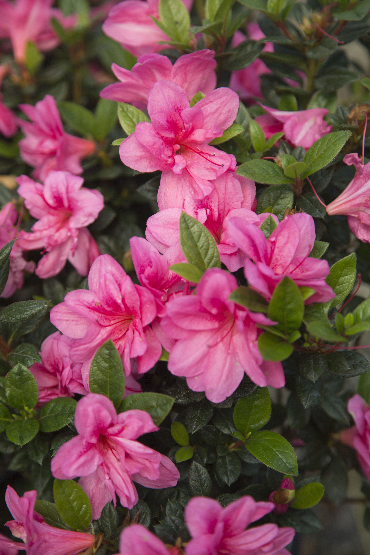 Encore Azalea Autumn Empress Pink Blooms Bronze Winter Foliage In 2020 Pink Azaleas Pink Garden Azaleas