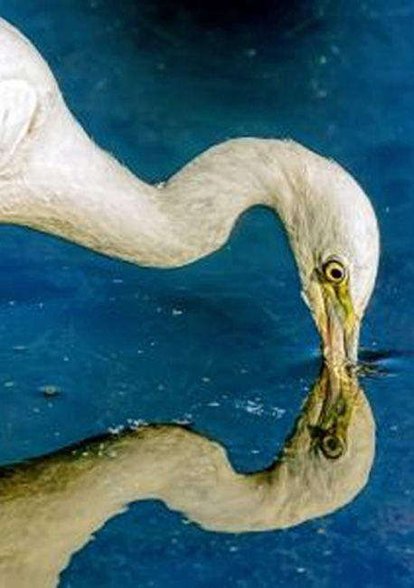 Little Blue Heron feeding