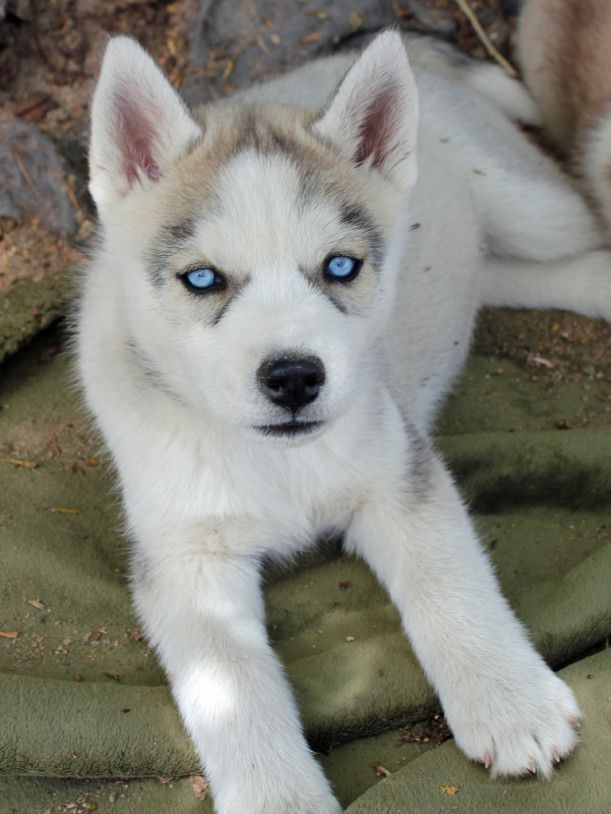 Siberian Husky Has Become Popular Due To Some Of Their Temperament