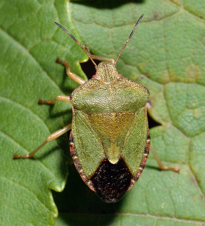 Stinkbug Xomilin Wanze Tiere Schadlinge