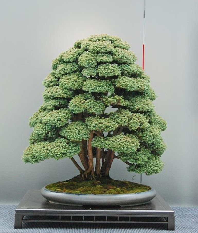 the ancient japanese art of bonsai creates a miniature version of a fully grown tree through. Black Bedroom Furniture Sets. Home Design Ideas
