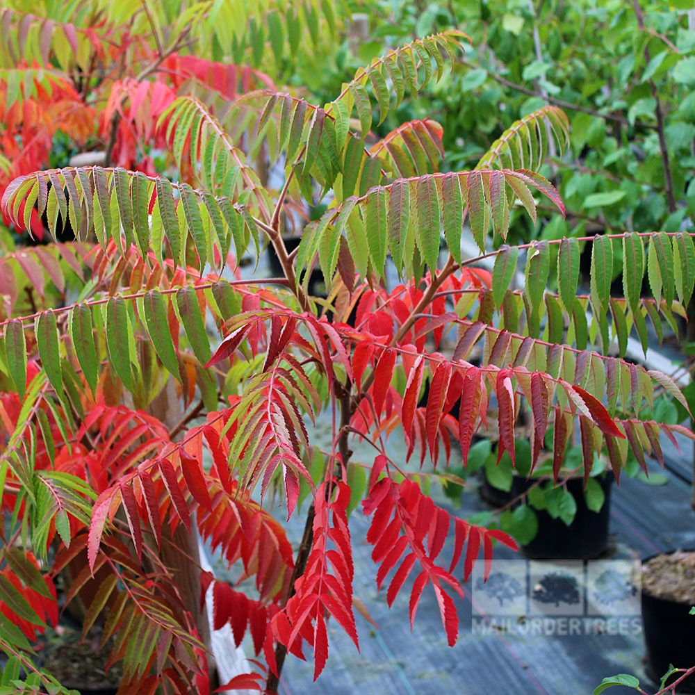 Rhus typhina Stag's Horn Sumach Boarder plants