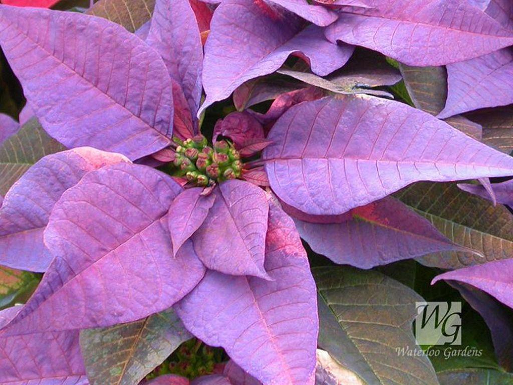 purple poinsettia freepurplepoinsettiawallpaper