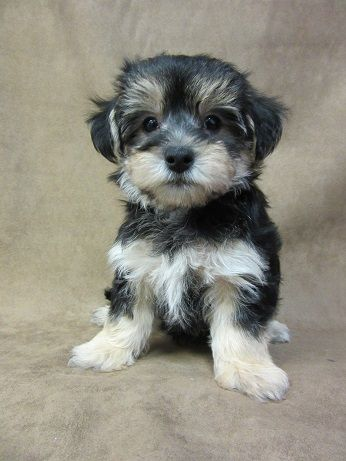 Maryland Baltimore Washington D C Annapolis Registered Unregistered Puppies For Sale Puppies Puppies For Sale Pet Ownership