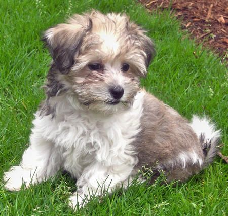 Havanese...you can't get much cuter than this! | Havanese ...