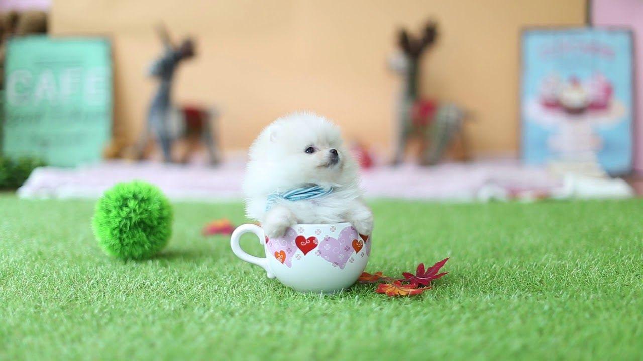 Cute teacup puppy pomeranian puppy videos cute teacup