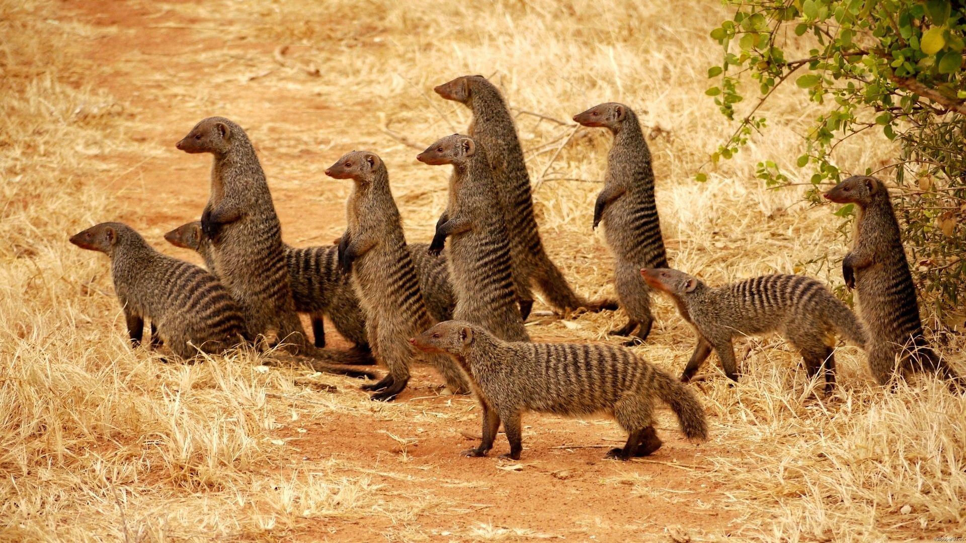 The Meerkat Or Suricate Is A Small Carnivoran Belonging To