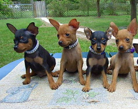 Too Cute Love Min Pins Especially With Natural Ears Mini