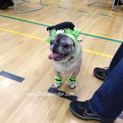 Pug O Ween A Plethora Of Pugs In Costumes Pugs In Costume