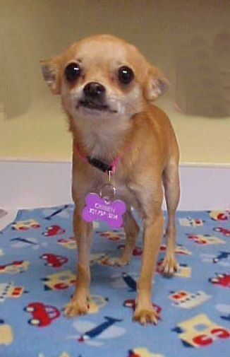 Adopt Geoffrey 5 Pounds On Small Dog Rescue Chihuahua Dogs Rescue Dogs