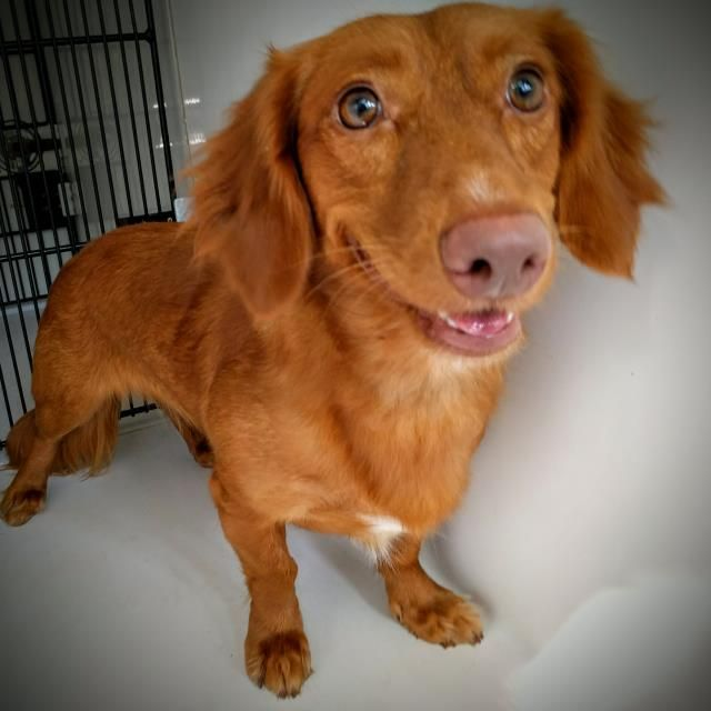 This Dog Id A463658 Located At Harris County Animal Shelter In Houston Texas 1 Year Old Female Dachshund Mix At The Shelter Since Jul 12 2016
