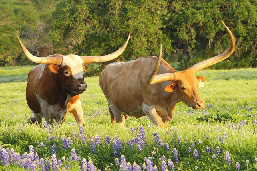 Texas Longhorn Cattle Photograph - Texas Longhorn Cattle Fine Art ...