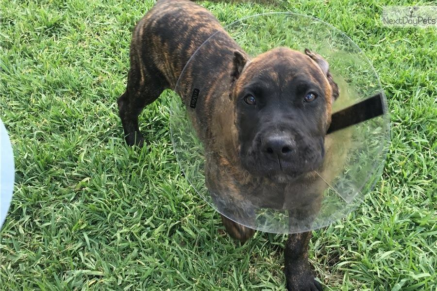 Presa canario puppies for sale in california