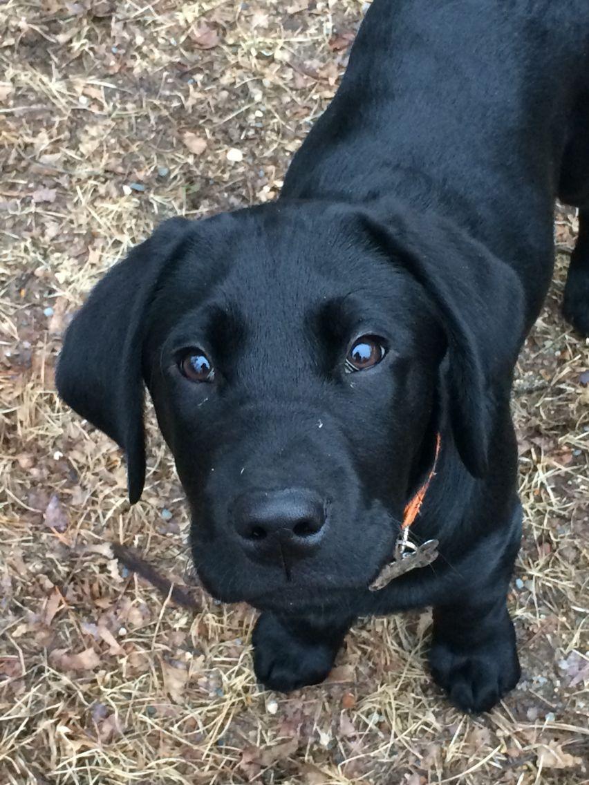 Black lab beau dogs black labs fur babies