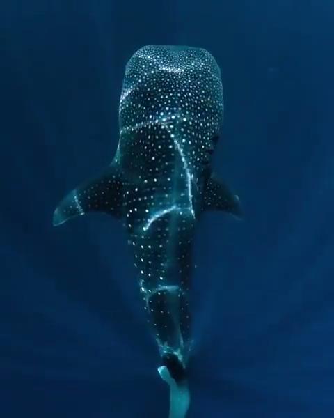Le plus grand poisson. Il se nourrit uniquement de proies de petite taille telles que le plancton et le krill, mais aussi d'algues, de petits crustacés, de petits calmars ou de poissons de moins de 10 cm.