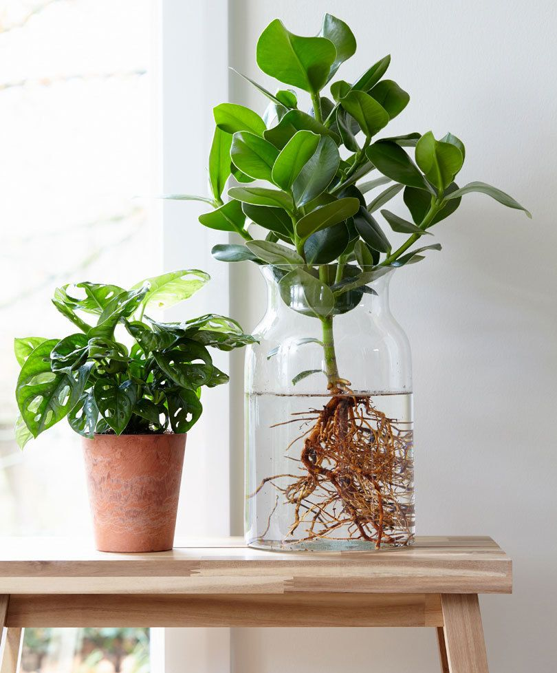 Indoor Plants Grown In Water: Indoor Plants In 2019 - Plants
