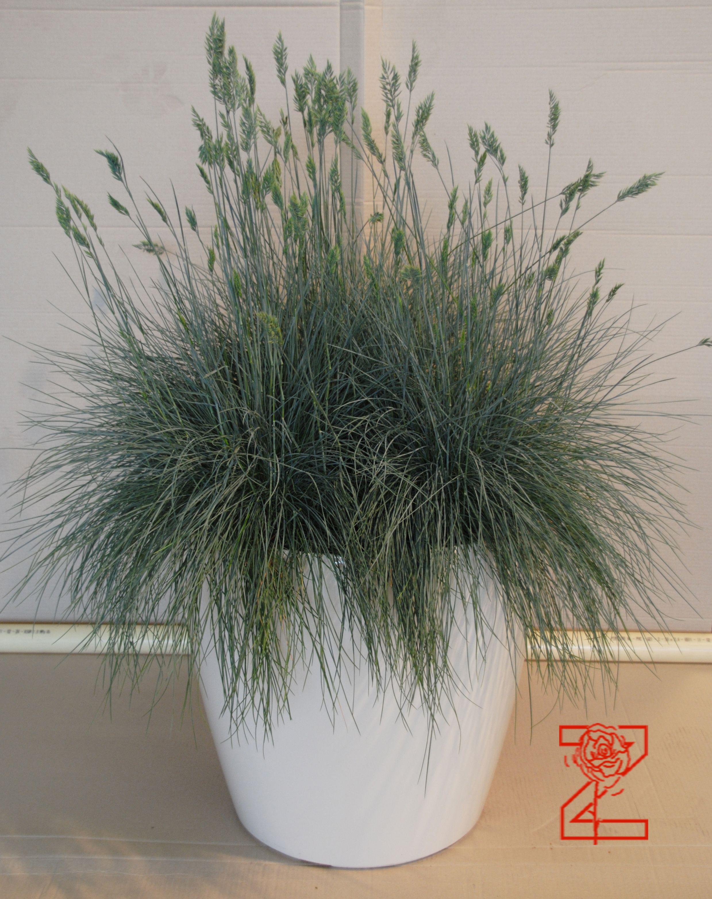Grassen In Pot.Grassen In Witte Pot 50 Cm Doorsnede Pots Planters Garden