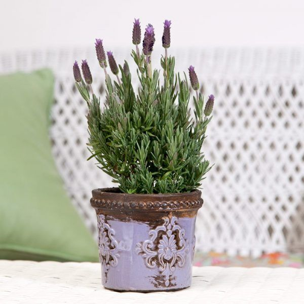11 lavender plants Painting ideas