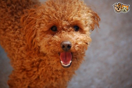 Red Toy Poodle Stud Dog For Sale Dogs Puppies Poodle Dogs For