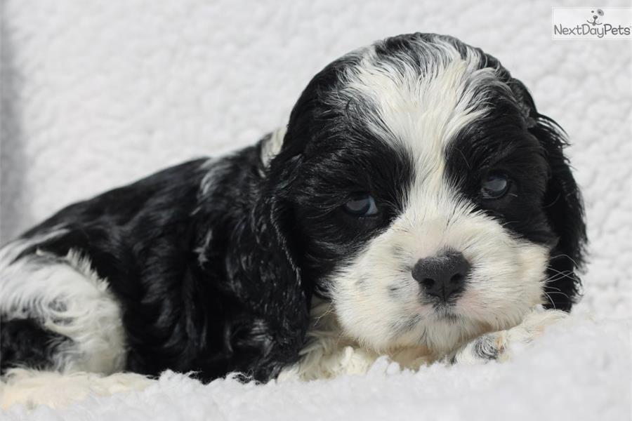 Meet Black And White Part A Cute Cocker Spaniel Puppy For Sale For 700 Black And White Parti Cocker Spaniel Puppies Spaniel Puppies For Sale Cocker Spaniel