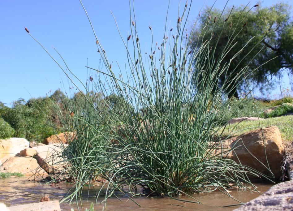 Httplawnclubblog3entry 60 twizzler lepironia has plants altavistaventures Images