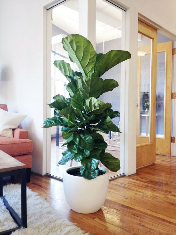 Fiddle Leaf Fig In A Large White Pot Will Make Your Space Chic Lake House In 2019 Office Plants Indoor Plants Plant Decor