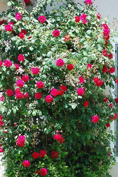 Florida Er Rose Old Garden Antique China Hearty Can Even Grow Wild