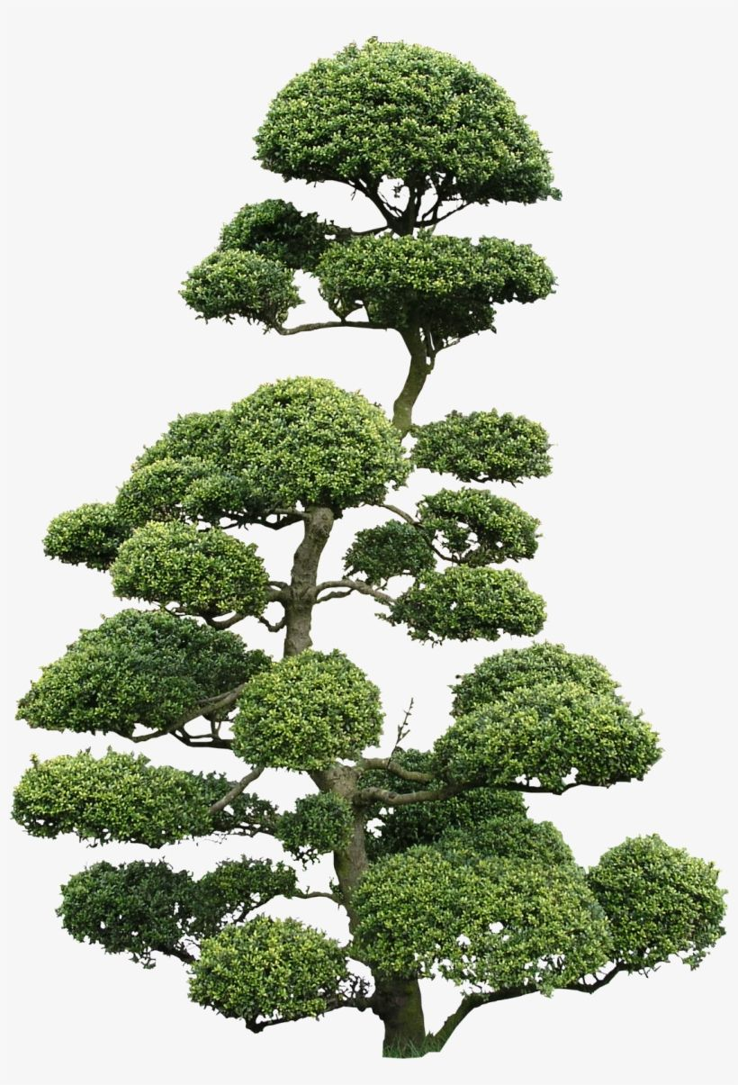 Download Cloud Tree Png Textures Cloud Pruned Tree Png For Free Nicepng Provides Large Related Hd Transparent Cloud Pruning Large Bonsai Tree Japanese Tree
