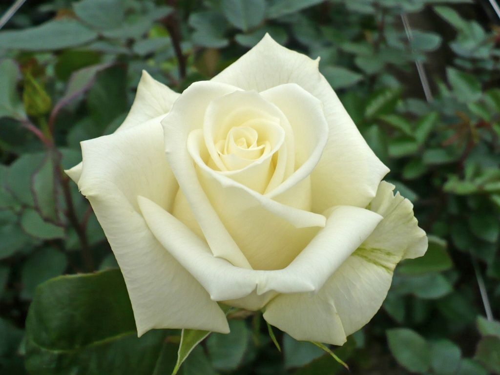 Escimo Is A Pure White Rose It Blooms Small Like Sweetheart Roses