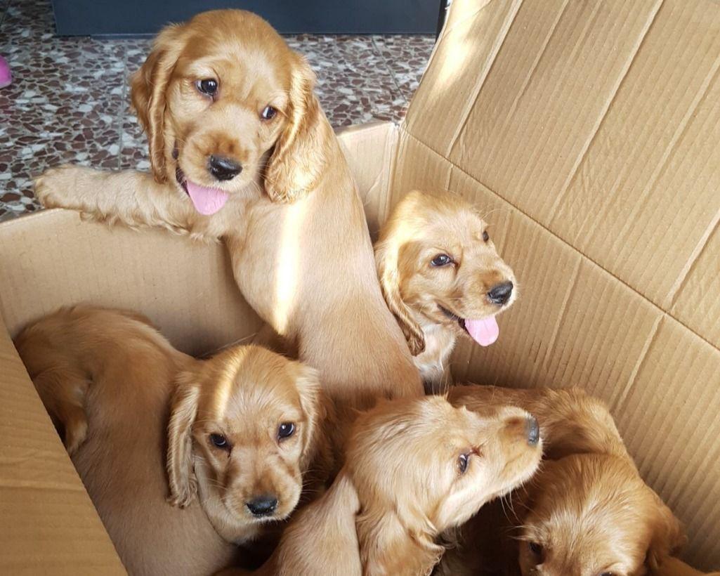 Cuccioli Di Cocker Spaniel Annunci Animali Cocker Spaniel Dogs
