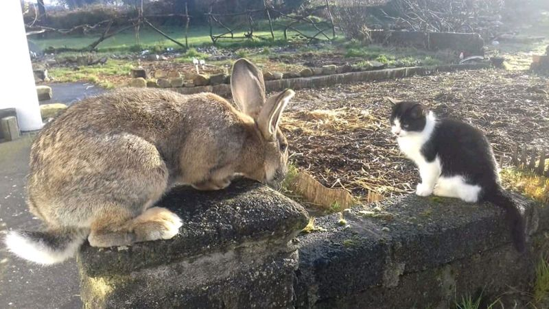 Flemish giant rabbits Galway Gumtree Classifieds