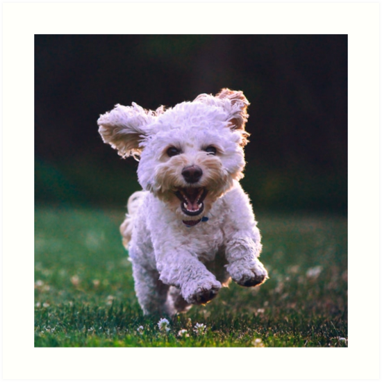 Running White Poodle Cute Dog Art Print By Mwagie Cockapoo