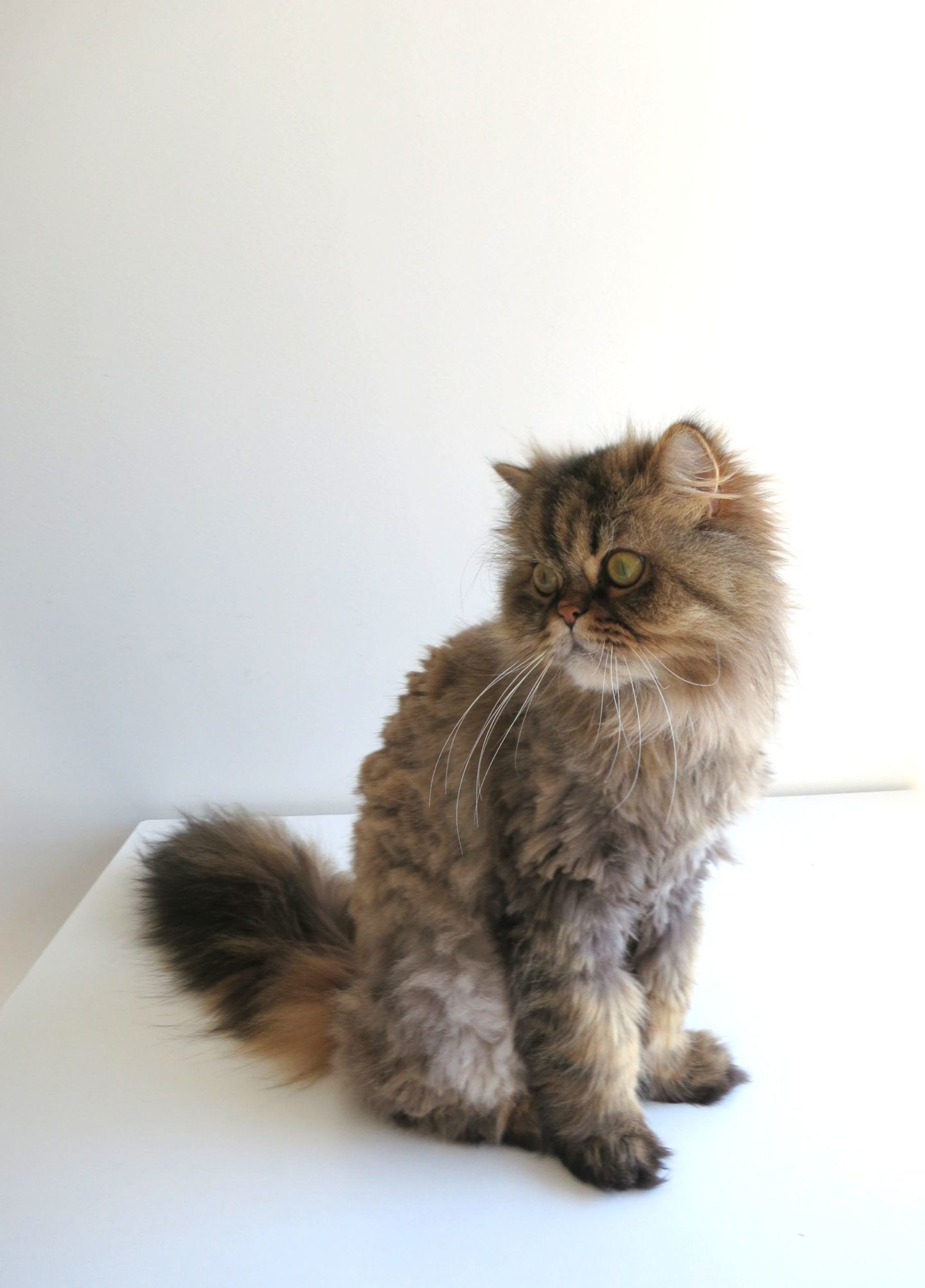 Pin On Cat Grooming Tips