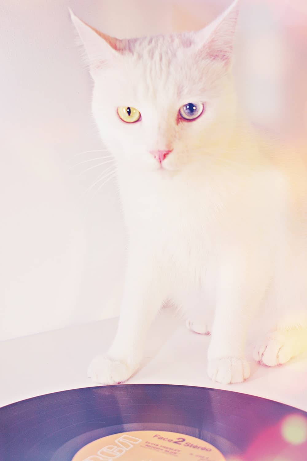 Albino Cats The Ultimate Guide to their history, types