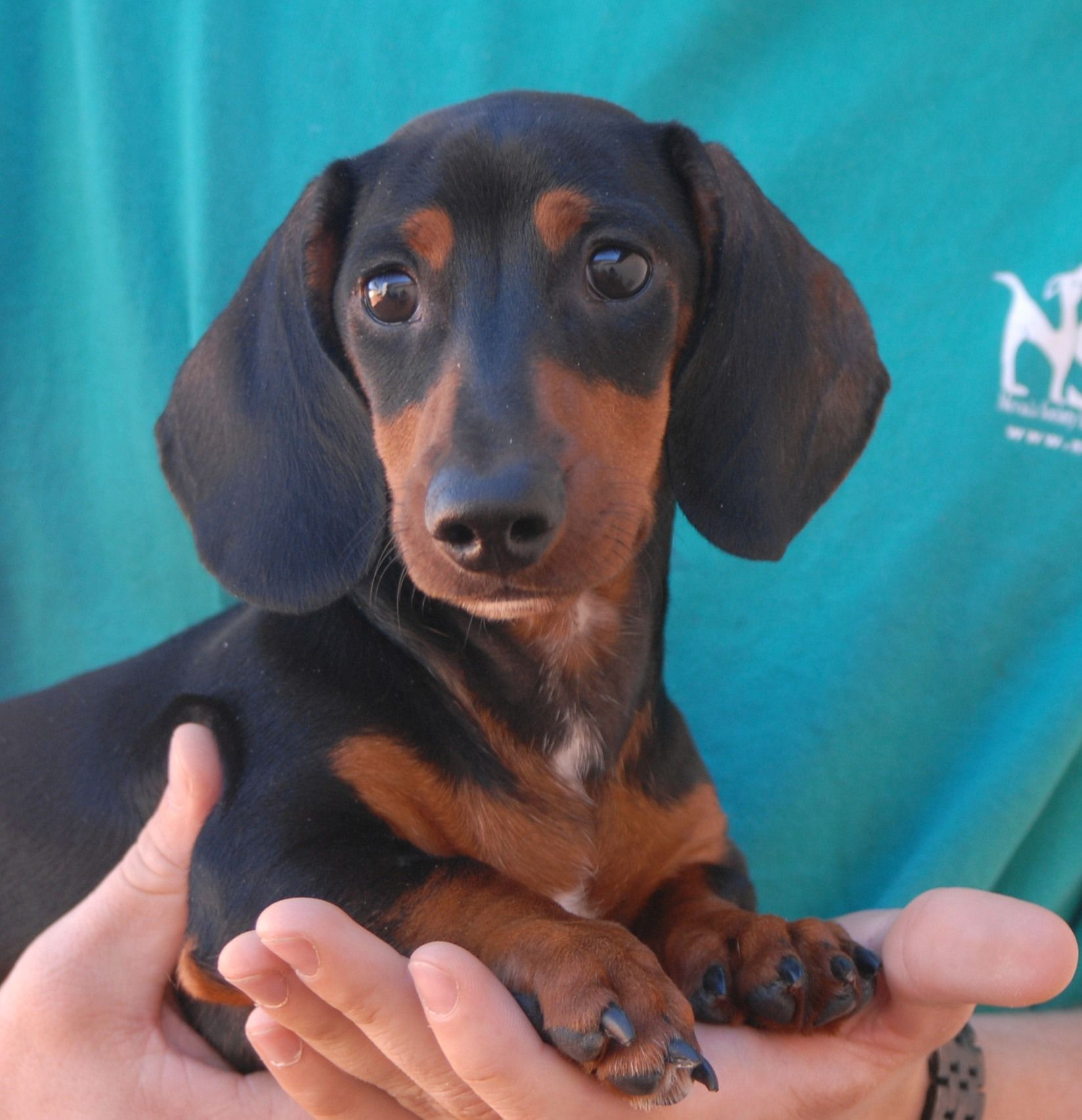 Stretch Is A Delightful Baby Boy Who Loves To Be Showered With Praise And Affection He Is A Remarkably Cute Dachshu Doxie Puppies Dachshund Puppy Weenie Dogs
