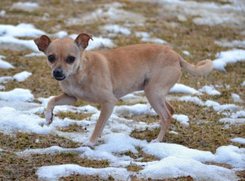 Meet P Nut A Petfinder Adoptable Chihuahua Dog Asheville Nc P