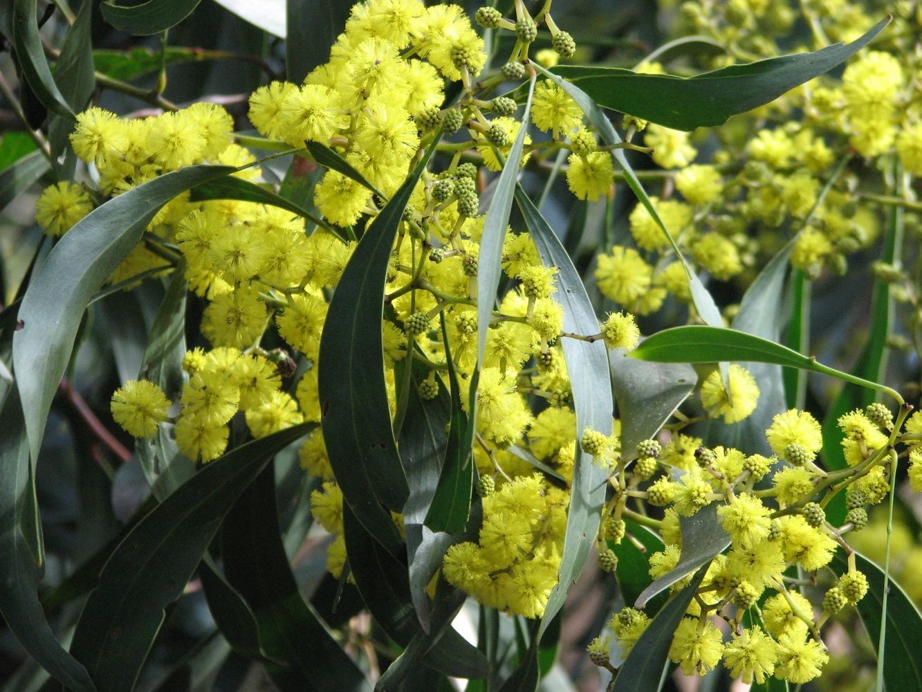 Acacia pycnantha (GoldenWattle) is Australia's floral