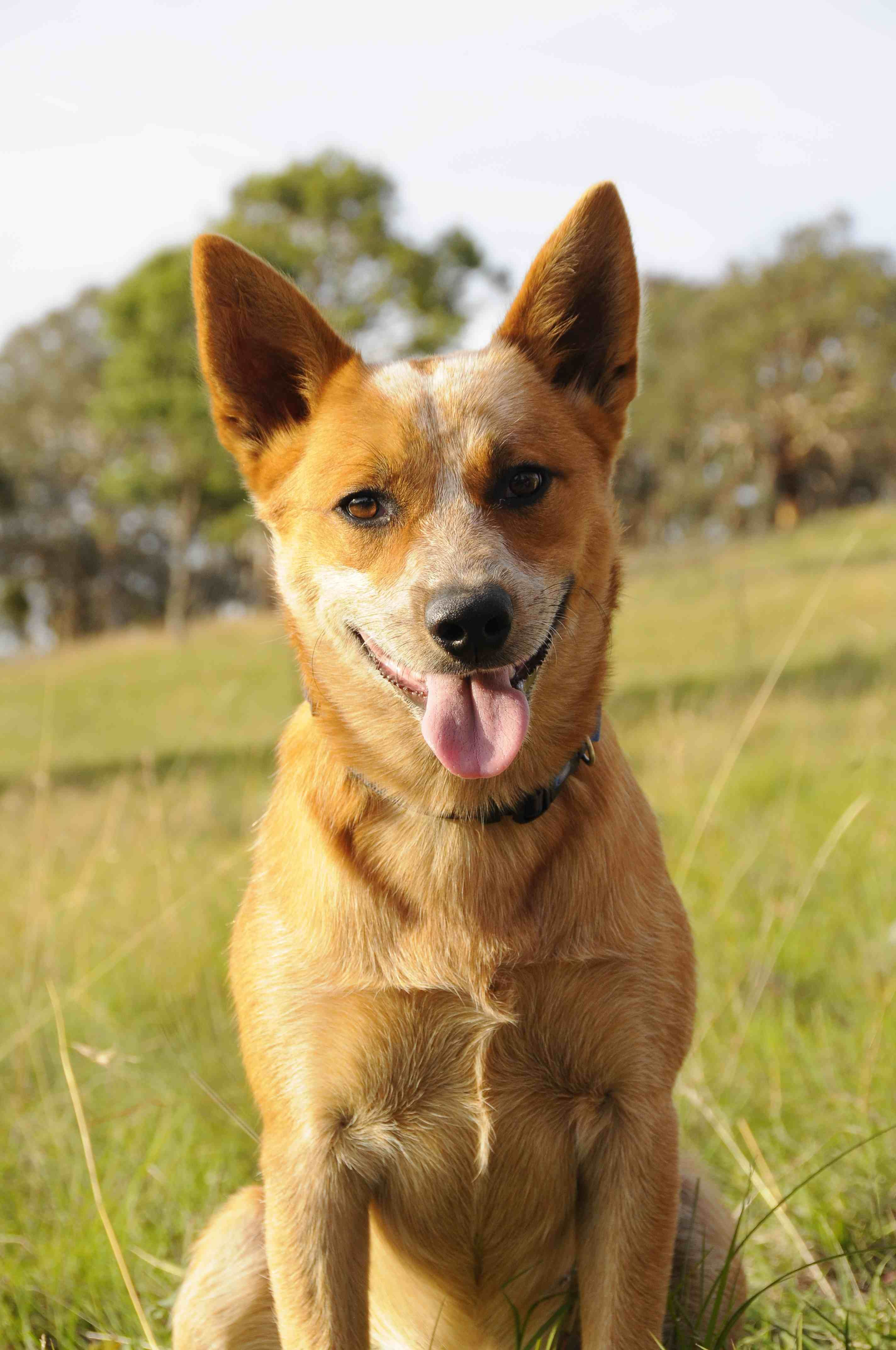 Australian Cattle Dog Red Heeler More Details Can Be Found By