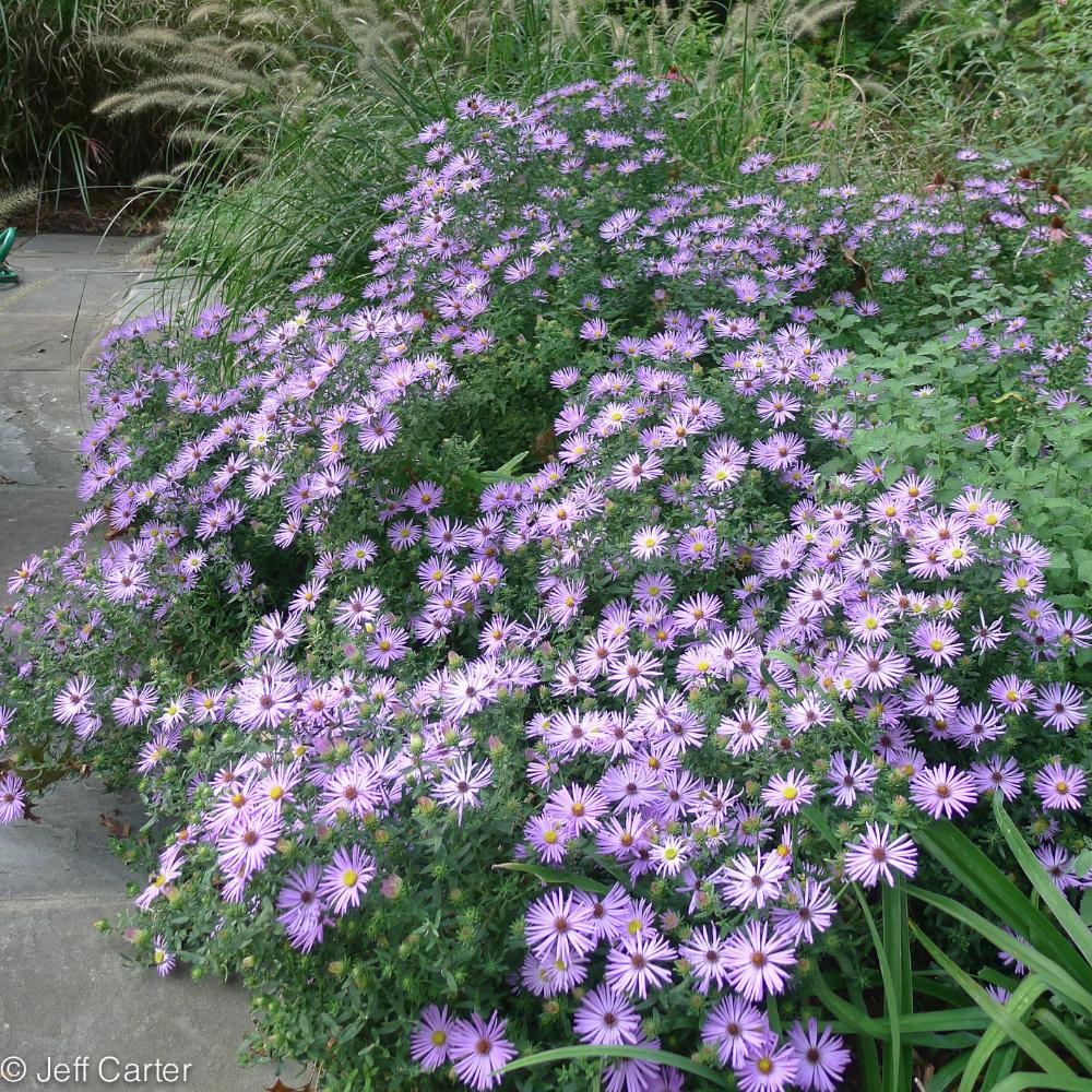 Aster Oblongifolius Season Plants Cool Plants Plants