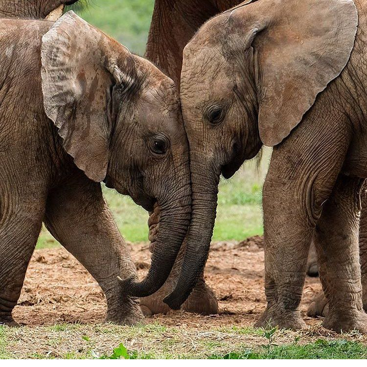 elephant-adults-only-undertable-upskirt-videos