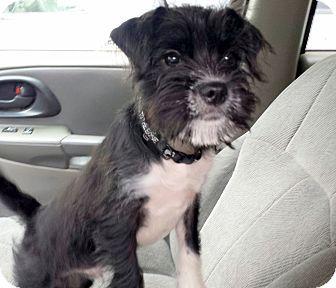 Sussex Nj Save A Mutt Kennel Nj Schnauzer Miniature Japanese Chin Mix Puppy Adoption Pets Schnauzer