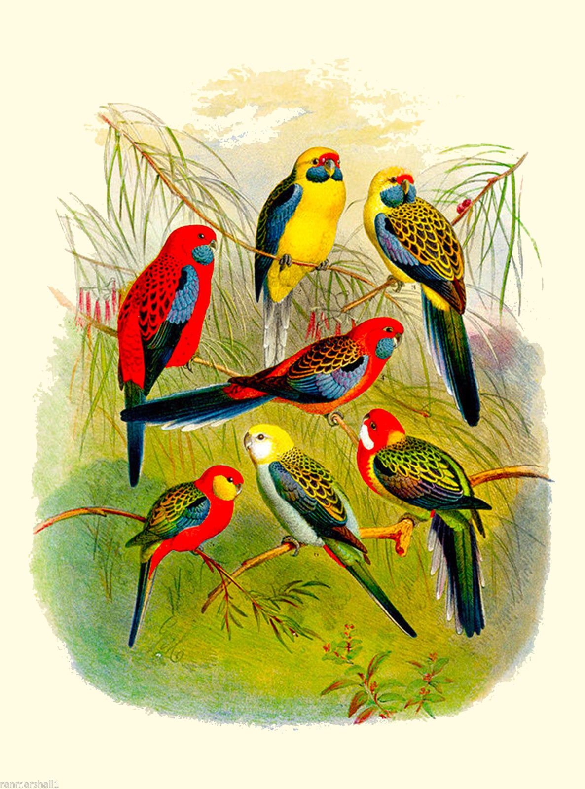 Parakeets Parakeet Parrot Parrots Bird Birds Vintage Art Poster 10 x ...