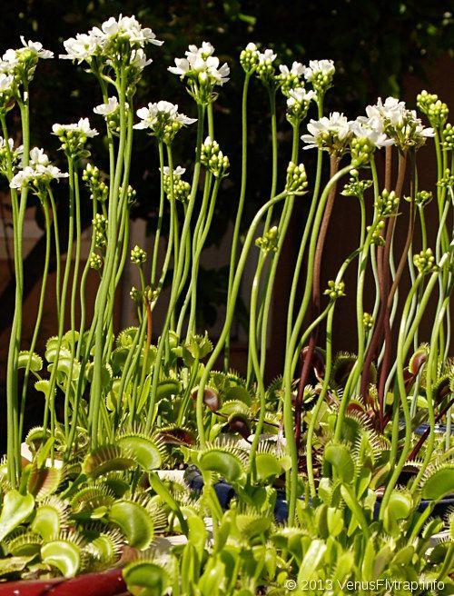 What Do Venus Flower Baskets Eat : Venus fly traps in bloom carnivorous plants