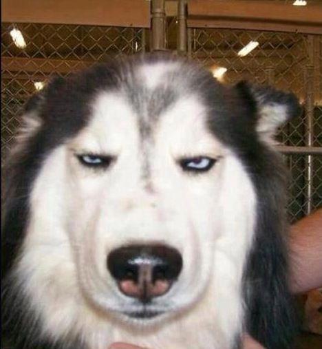 Angry face | Funny husky meme, Husky memes, Pokemon funny