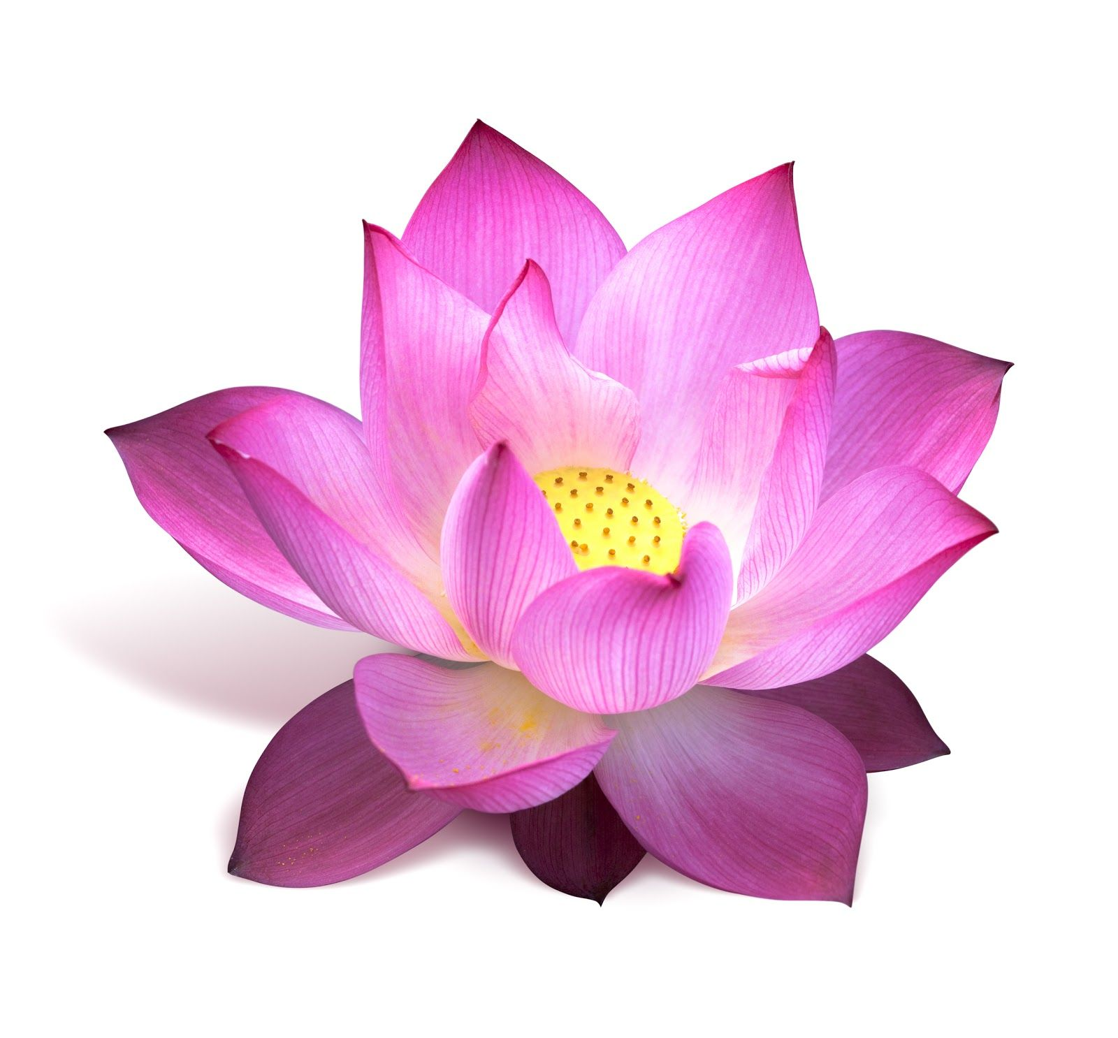 Lotus flower images saferbrowser yahoo image search results lotus flower images saferbrowser yahoo image search results izmirmasajfo
