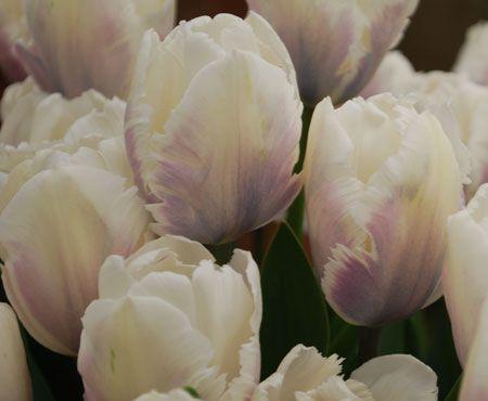 Tulipa 'Snow Parrot'