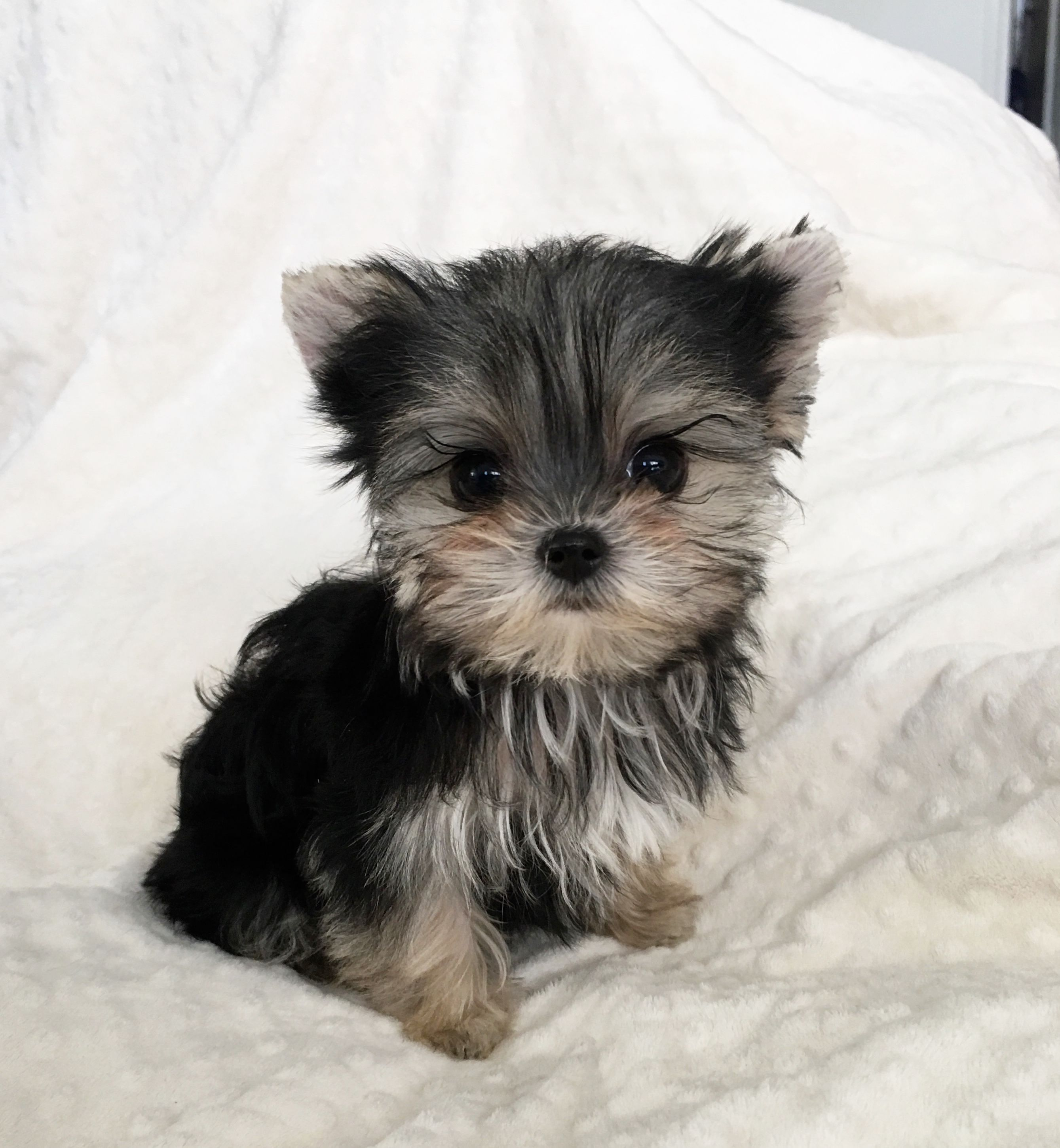 Pin by Deborah G on Morkie/Small Pups Morkie puppies