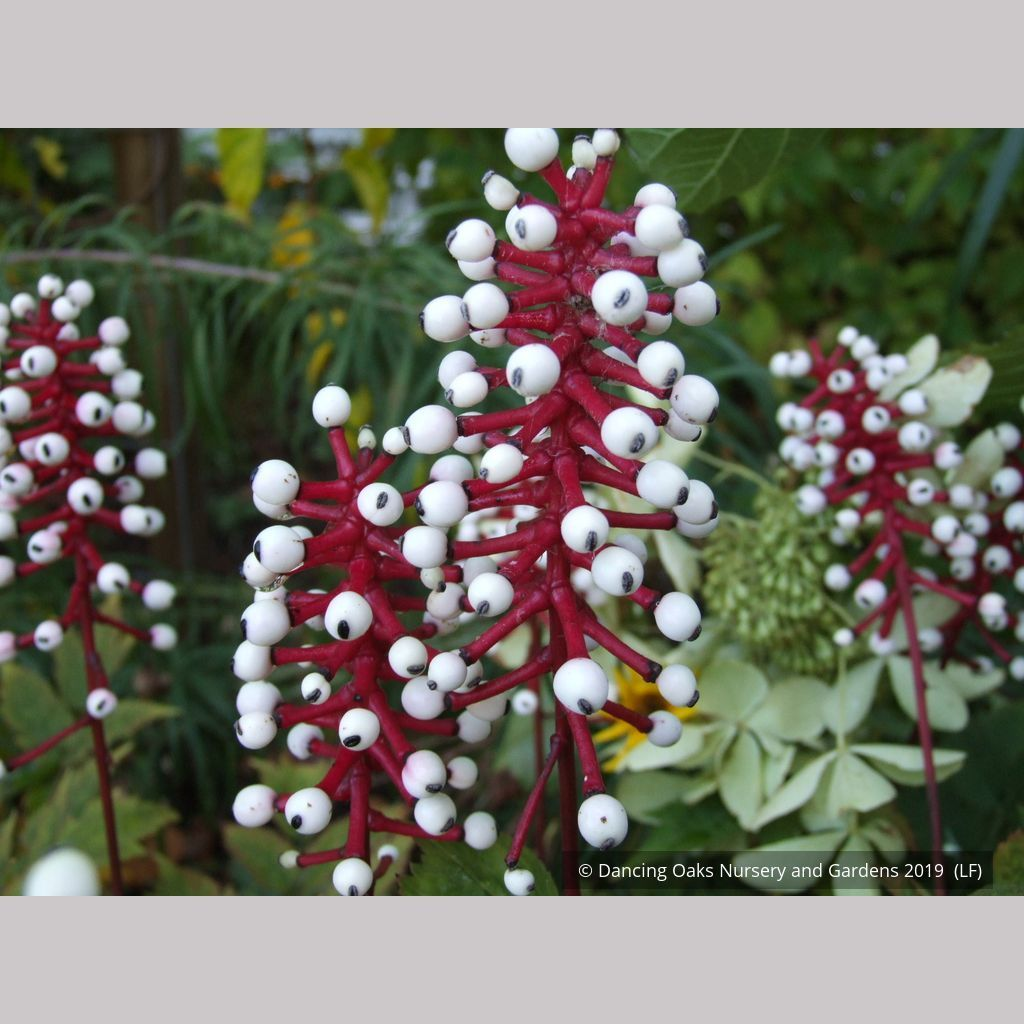 Actaea Pachypoda Doll S Eyes In 2021 Summer Flowers Autumn Display Doll Eyes