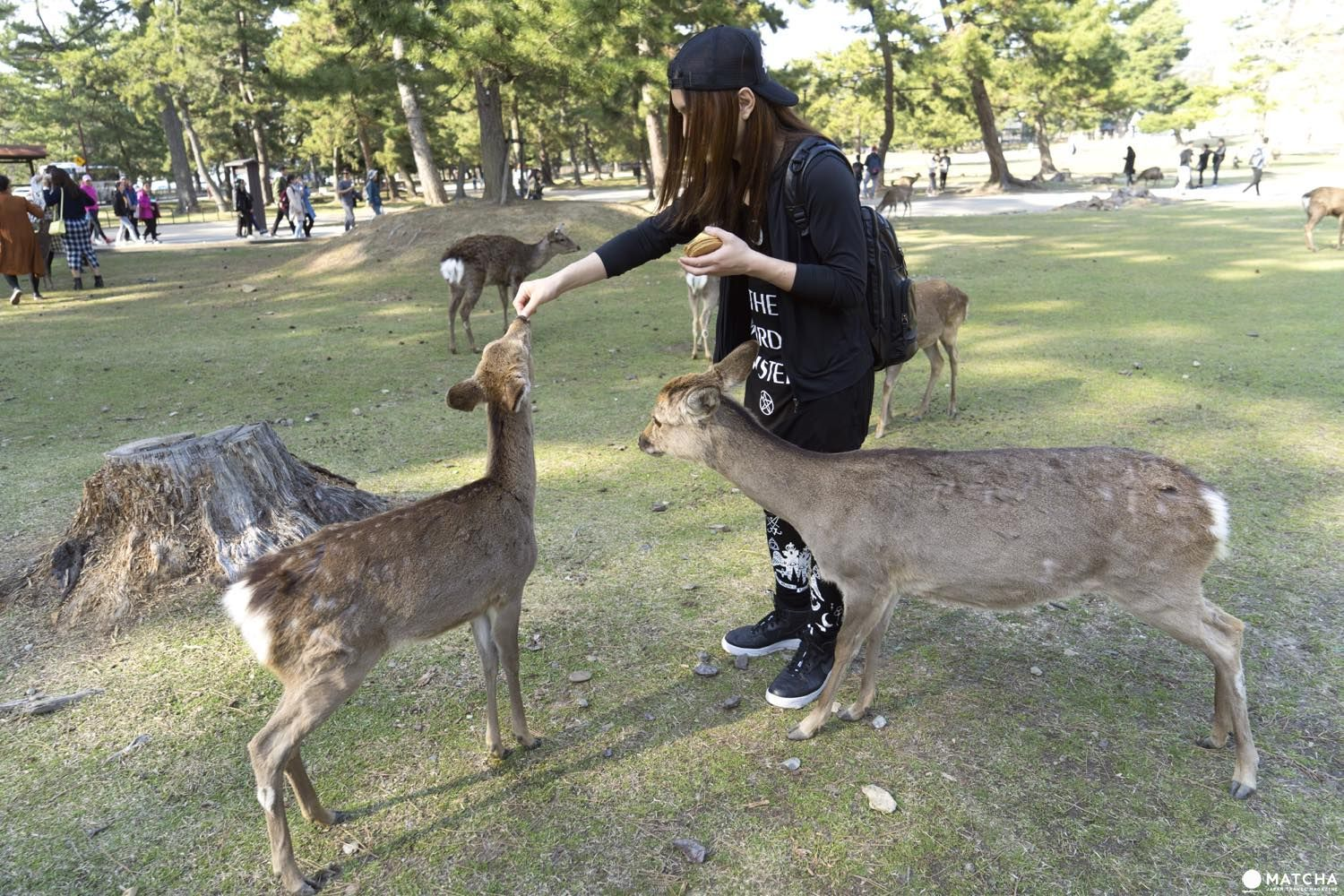 Nara S Bowing Deer 5 Tips On How To Treat Them The Right Way In 2020 Matcha Japan Japan Travel Japan