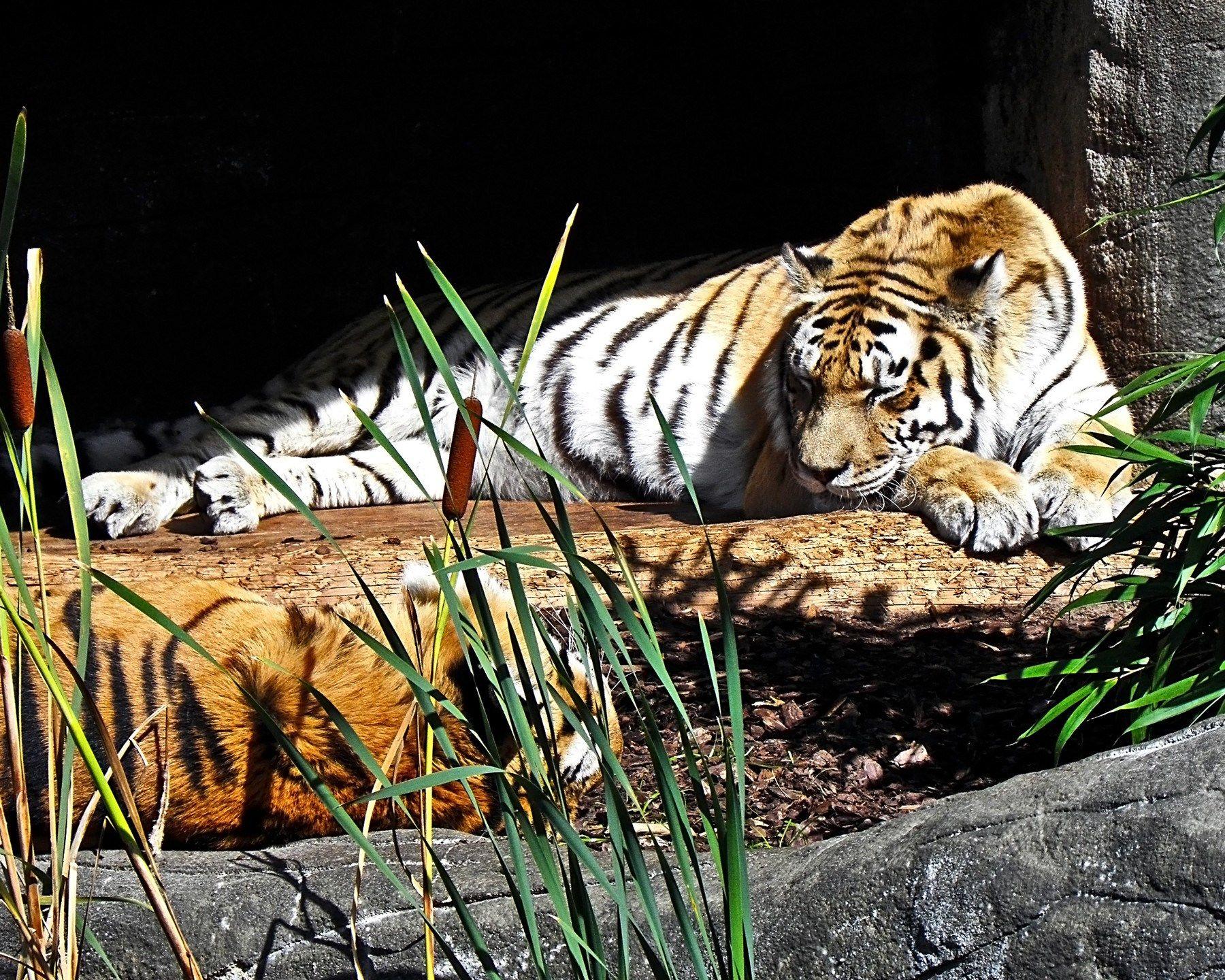 high resolution wallpapers widescreen tiger | hueputalo | pinterest